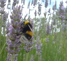 bee on lavender by Maike