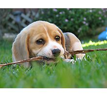 Cheeky Puppy Photographic Print