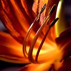 orange passion by Dorit Fuhg
