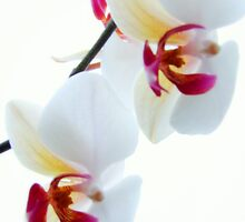 White Orchid No1 by Andy Mulley
