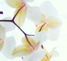 White Orchid No3 by Andy Mulley