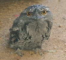 Tawny Frogmouth lll by Tainia Finlay