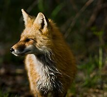 Wet Fox by Jay Ryser
