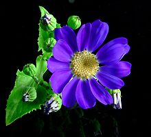 Blue Cineraria by Tom Newman