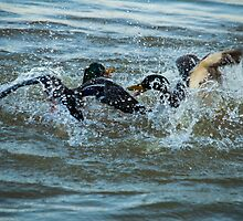 Duelling Ducks by Ralph Goldsmith