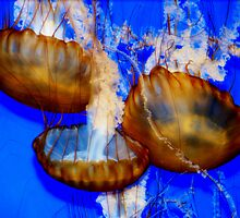 Jellyfish by Carole Rogers