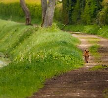Fox out for a walk by Dave  Knowles