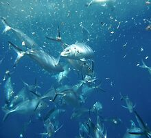 Feeding Frenzy, Neptune Island, South Australia by Michael Humphrys
