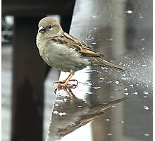 Just another rainy day Sparrow... Photographic Print