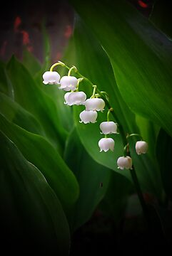 Lily of the Valley by M G  Pettett