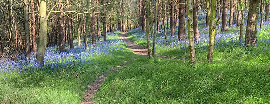 Bluebell Path 2 by Ann Garrett