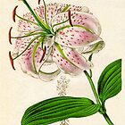 Lilium speciosum punctatum or Spotted-flowered Lily by chrisrob