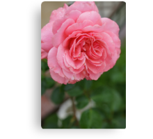 Hope for a new day!  Refreshed in pink!  Rose gets a drink in the dew! Hope in pink!   La Mirada, CA Canvas Print