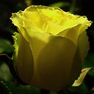 Yellow  rose. by Saulite2