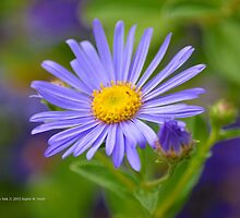 Aster Amellus King George | Westbury, New York  by © Sophie W. Smith