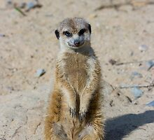 Meerkat by Jan Prchal