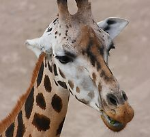 giraffe by Jan Prchal