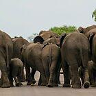 Elephants (Loxodonta africana) by Deborah V Townsend