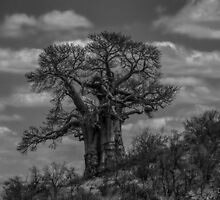 Baobab Tree (Adansonia digitata) by Deborah V Townsend