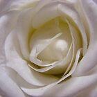 Cream Rose by kookaburra