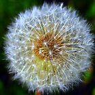 Dandelion A by buddykfa