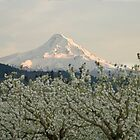 Mt Hood and Apple Blossoms by Andrew Maisel