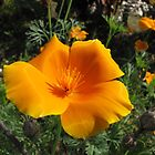 California Poppy by orko