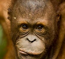Young Orangutan  by jtanphotography