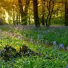 Bluebell Magic by Andrew Leighton