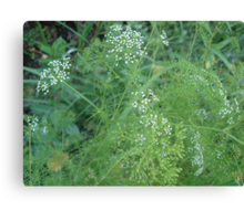 Wild Carrots (I think) Canvas Print