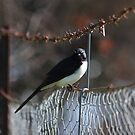 Willy Wagtail by Darren Post
