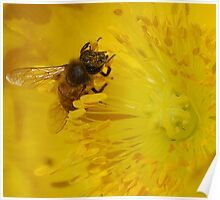 bee in the yellow bloom Poster