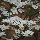 Neighbors Dogwood by elisab