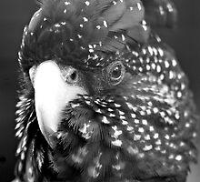 Black Cockatoo by imberella