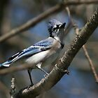 Pretty Blue Jay bird by turkeylegs