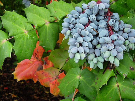 Oregon Grape by John Ayo