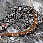 Golden-tailed Gecko by Dave Fleming