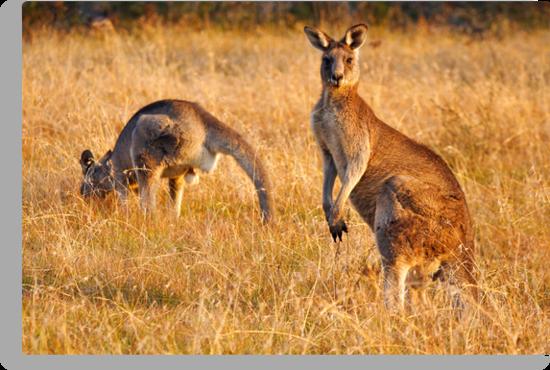 Kangaroos by Darren Stones