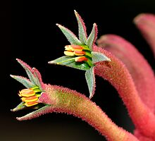 Kangaroo Paws Big Red by Christopher Clarke