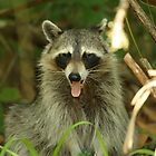RACCOON by H & B Wildlife  Nature Photography