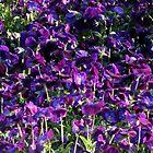 Purple Pansies by pwall