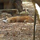 Lazy Dingo by clay2510