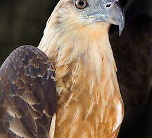 Thai Sea Hawk by Martin Pot