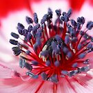 Red Anemone by Darren Post