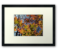 Autumn Sugar Maple Leaves in Full Glory Framed Print