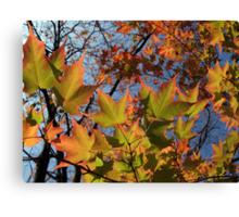 Autumn Sugar Maple Leaves in Full Glory Canvas Print