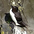 Razorbill by Lunatic