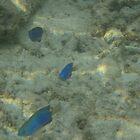 blue fish by kateN