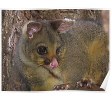 Brush-tailed Possum Poster
