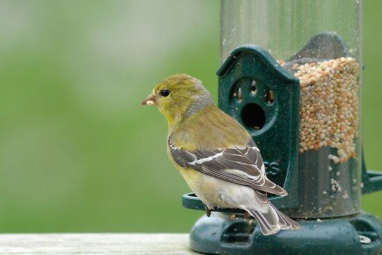 (Female) American Goldfinch by okcandids